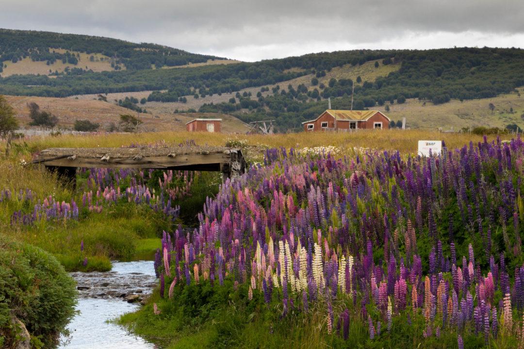 Des belles fleurs, en Patagonie, près de Puerto Natales, Chili