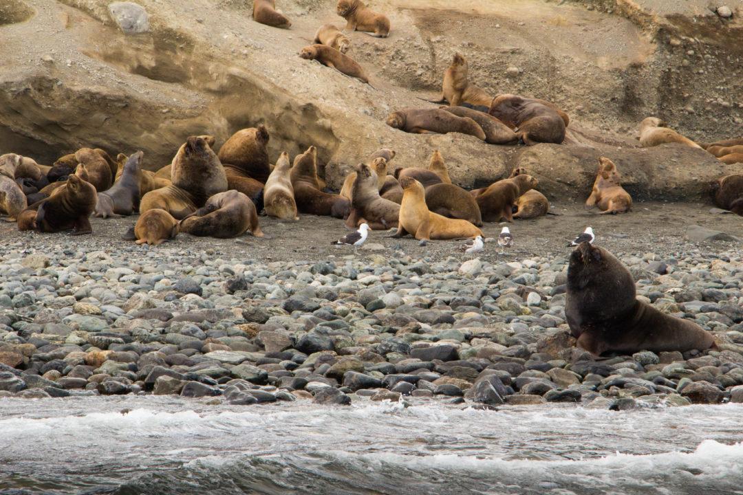 Les lions de mers, sur l'Isla Marta, détroit de Magellan