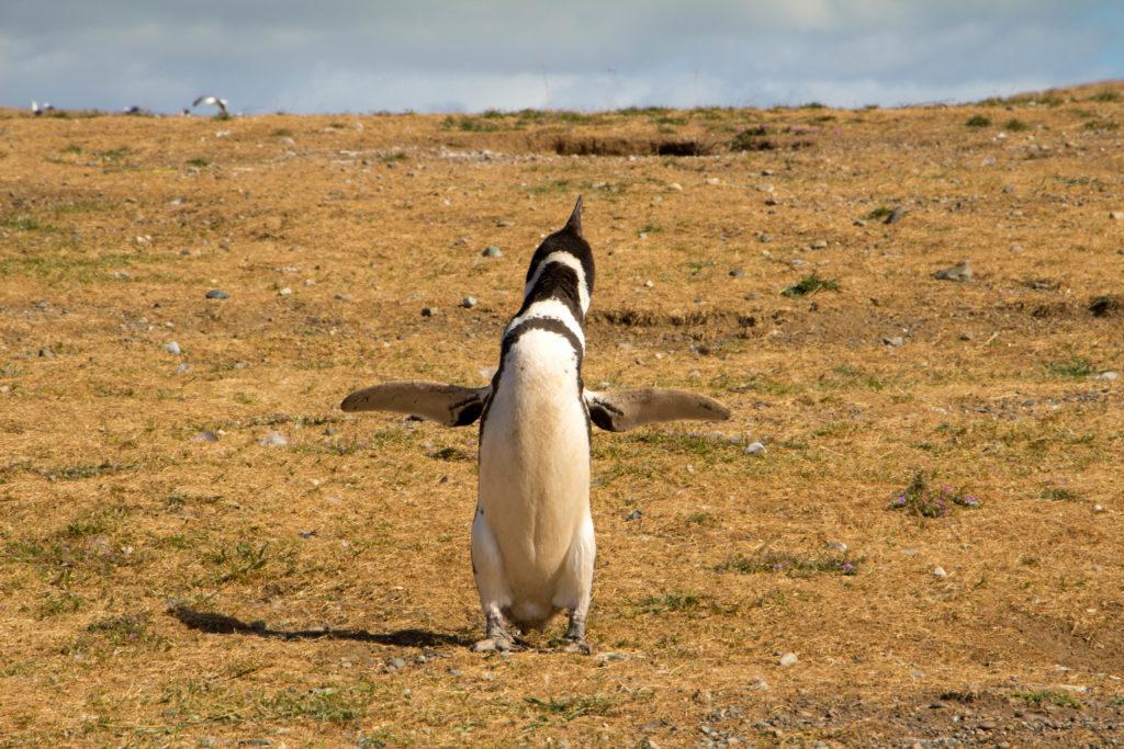 Un pingouin qui fait le beau, sur l'Isla Magdalena, détroit de Magellan
