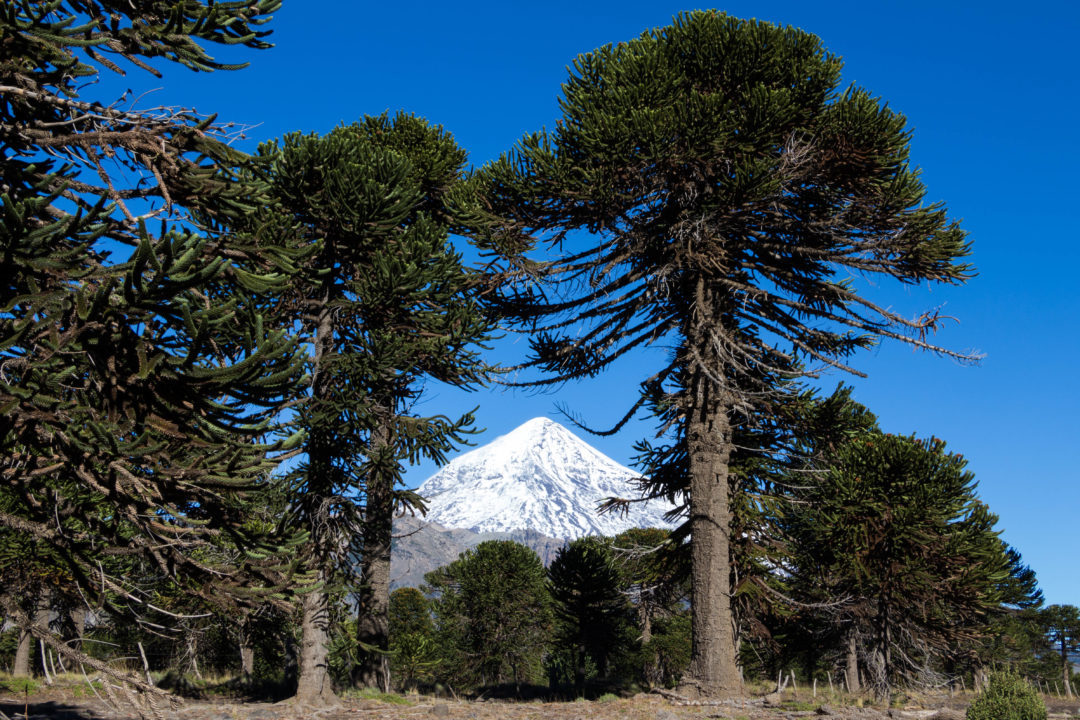 Le volcan Lanin au milieu des araucarias, dans le parc national Lanin, Argentine