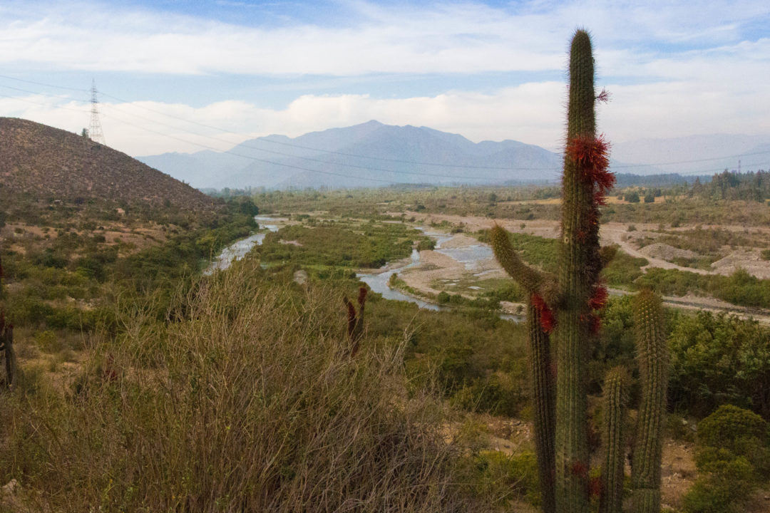 Paysage de cactus en fleurs, dans la région de Santiago