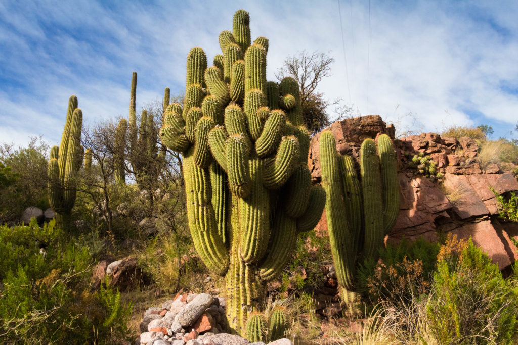 Les cactus candélabres lors du passage du col