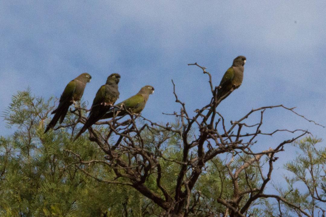 Les perruches vertes qui s'envolent en nuée lors de notre passage