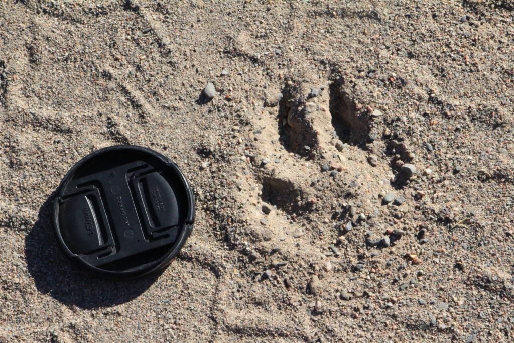 La trace du puma, que nous trouvons proche de la tente au réveil ... (le cache de l'appareil photo fait 7 cm de diamètre)