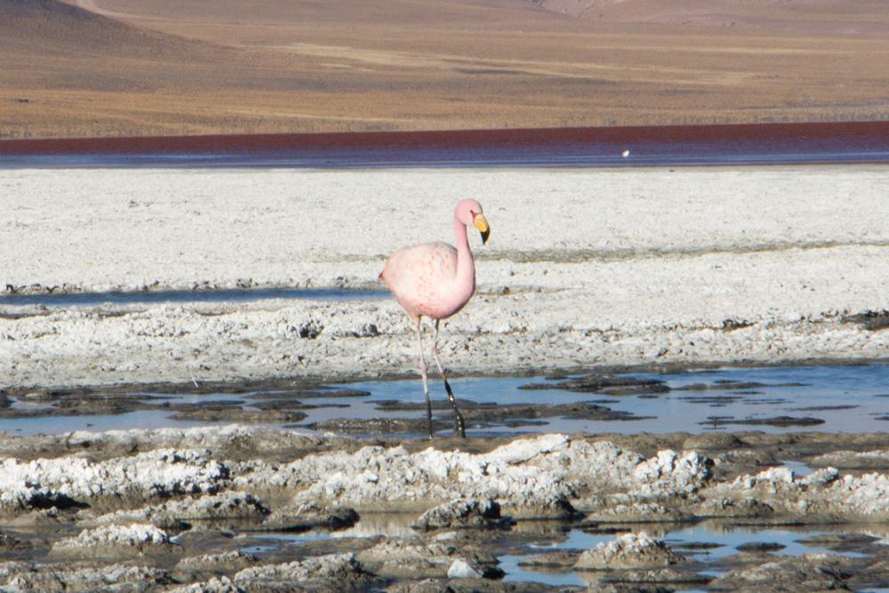 Un flamant rose, à la Laguna Colorada, dans le Sud-Lipez