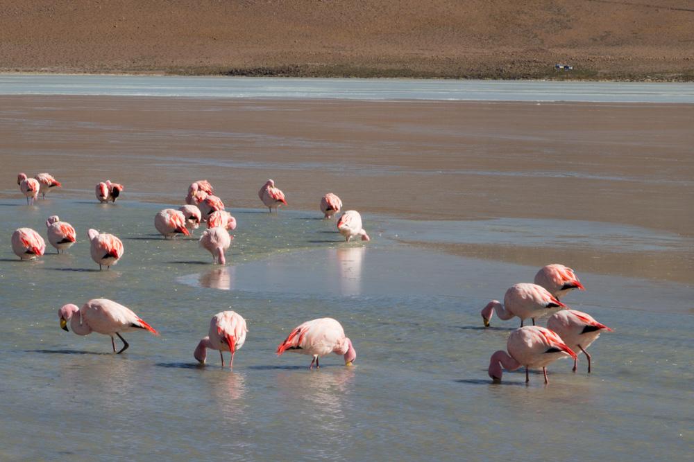 Des flamants roses sur la laguna Hedionda, Sud-Lipez, Bolivie