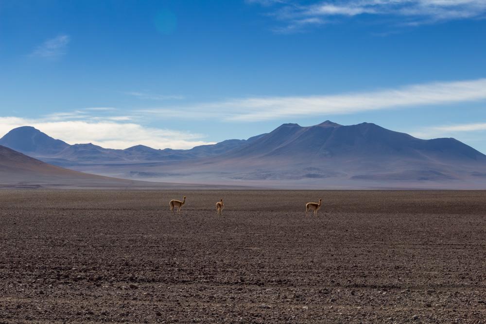 Proche de la Laguna Blanca, dans le Sud-Lipez