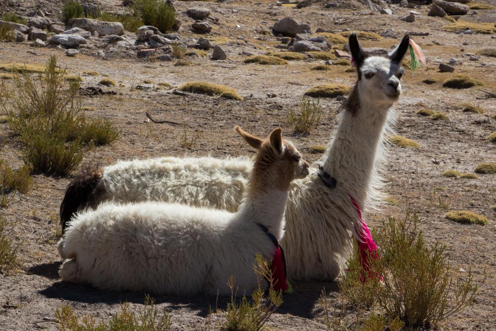 Une maman lama et son bébé, au village de Villa Mar