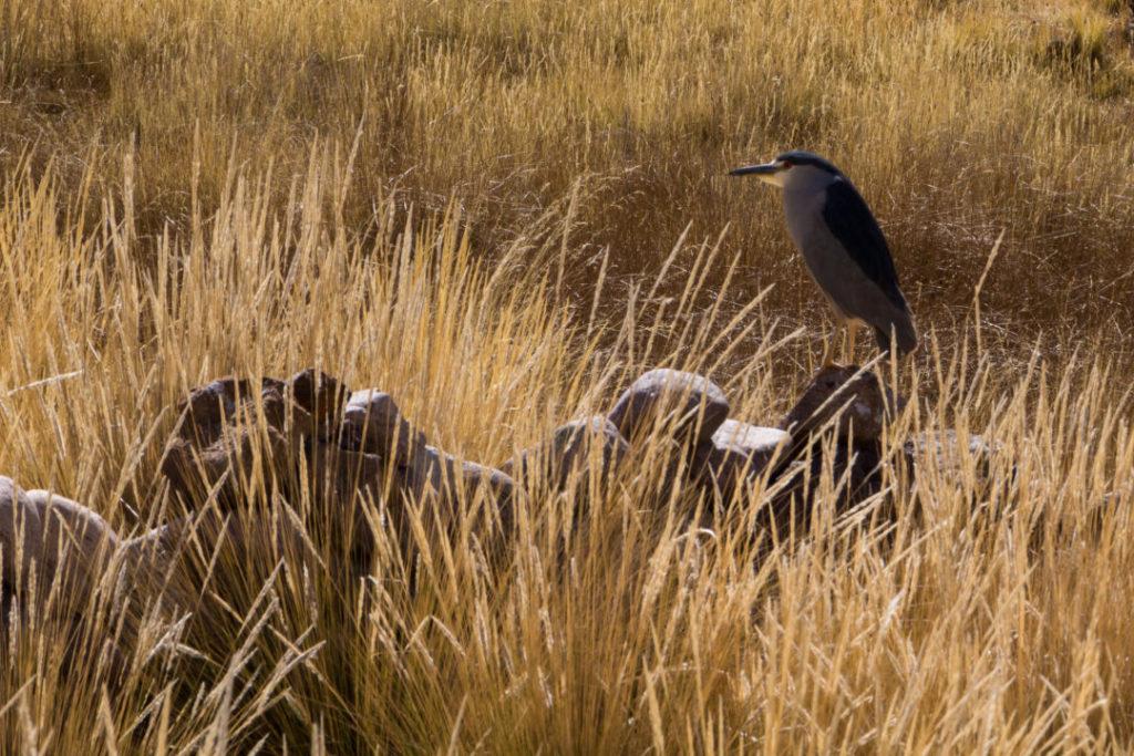 Entre Juliaca et Cusco - Oiseau