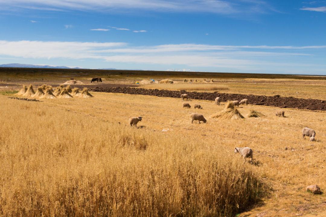 Péninsule de Capachica - Paysage agricole