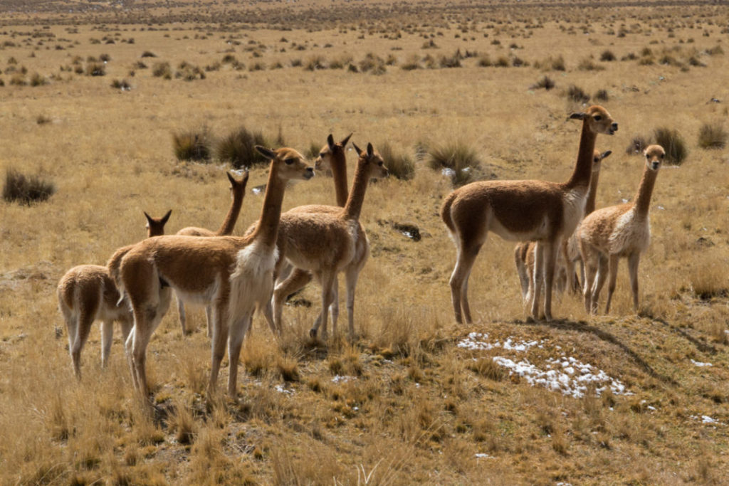 Entre Huancayo et Cerro de Pasco - Vigognes