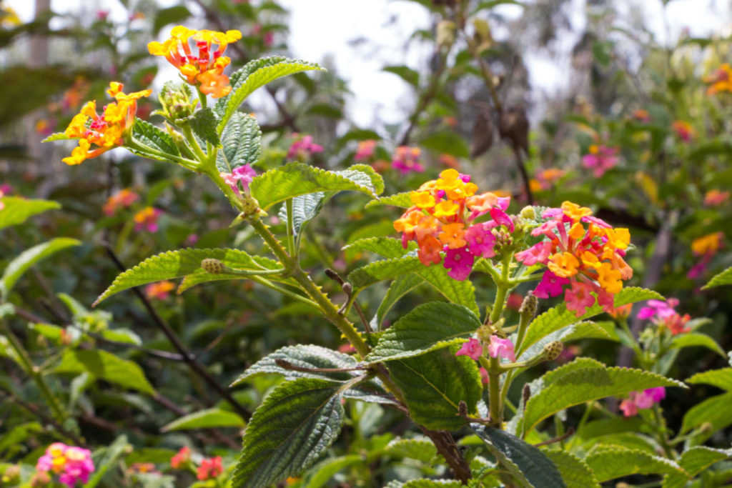Baños - Fleurs