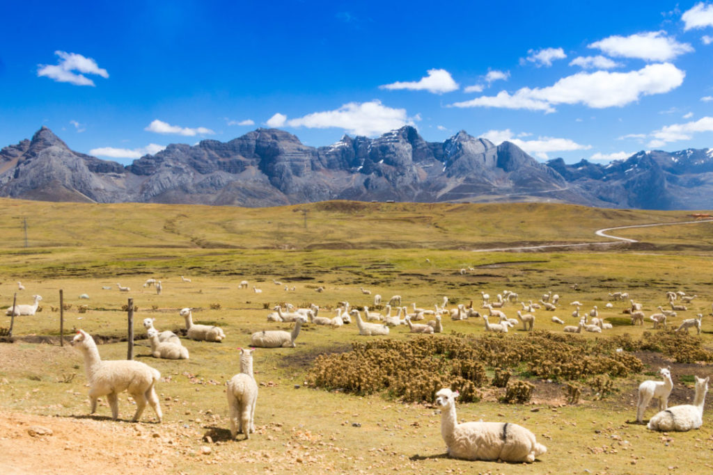 Cordillera Huayhuash - Alpagas dans la montagne