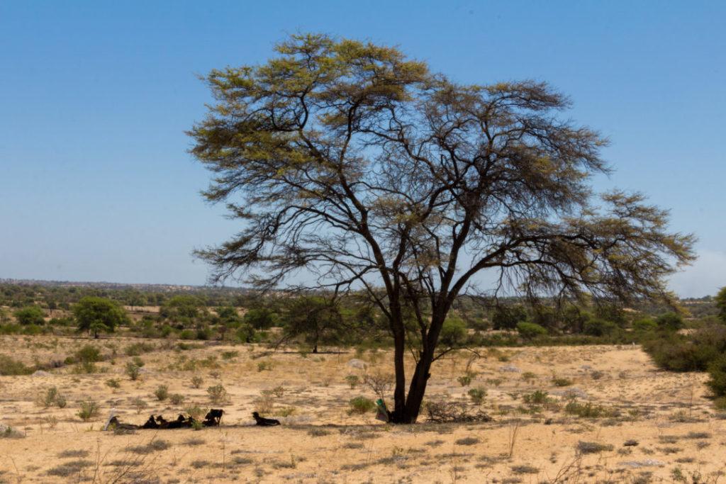 Entre Piura et Macara - Arbre dans le désert