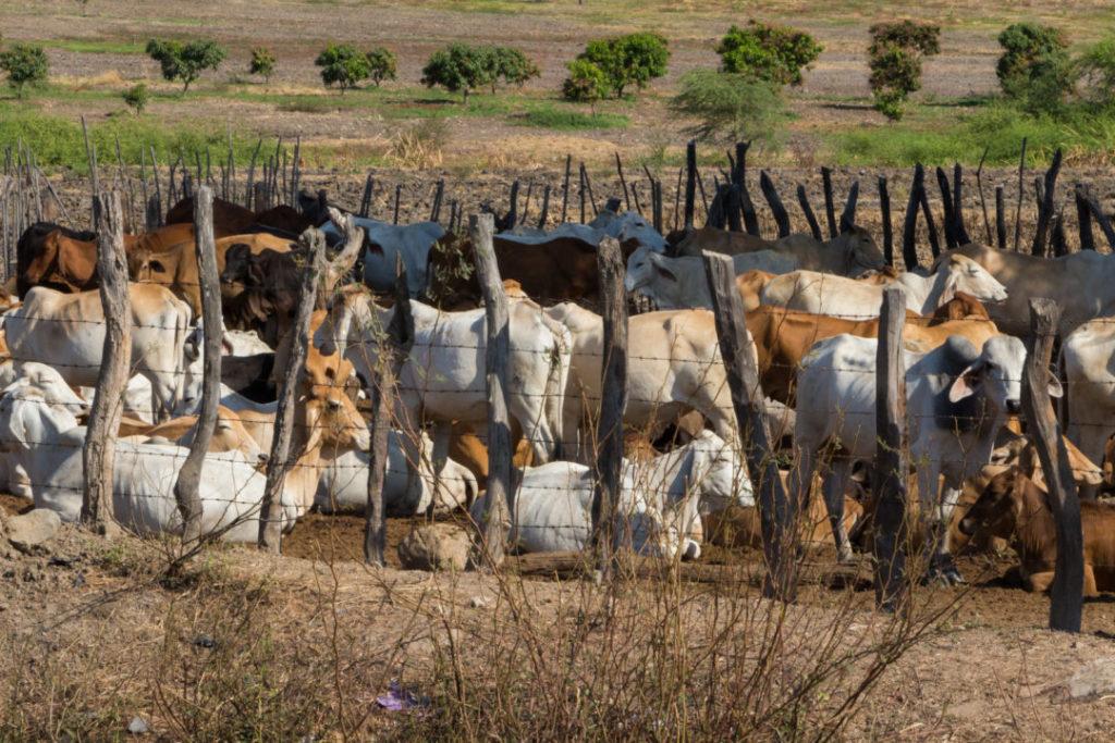 Entre Piura et Macara - Vaches
