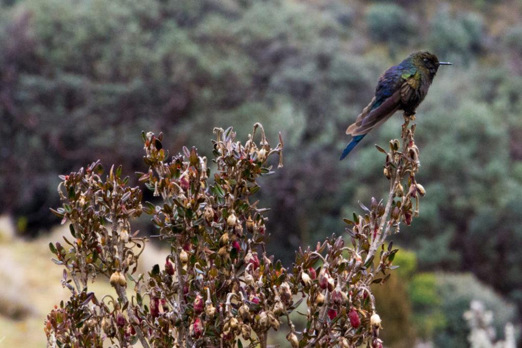 Parc National Las Cajas - Oiseau