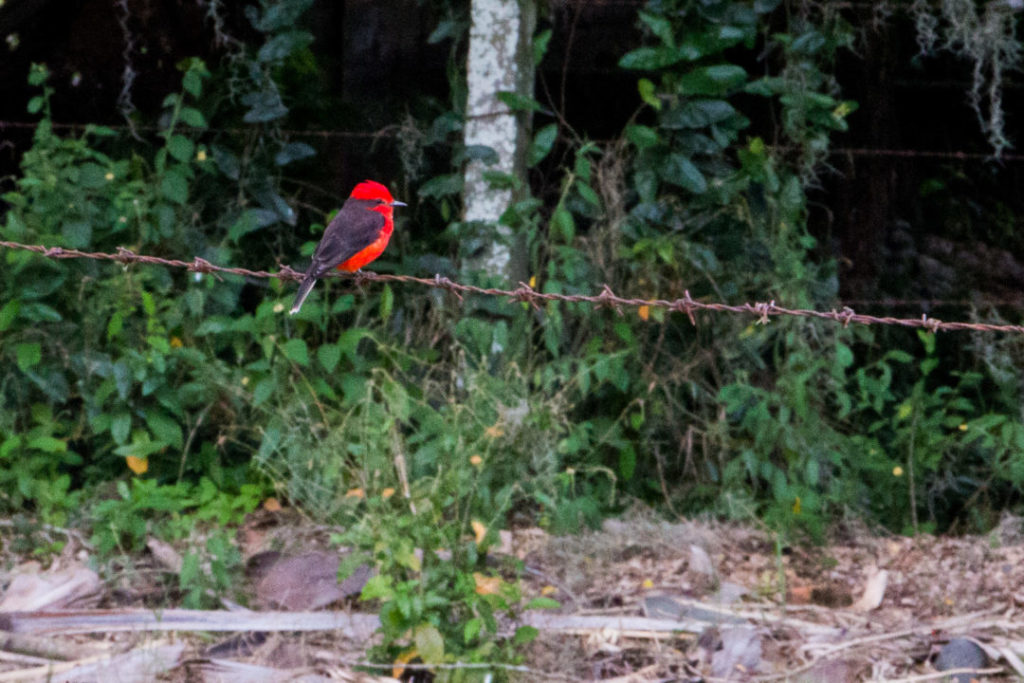 Colombie - Oiseau rouge