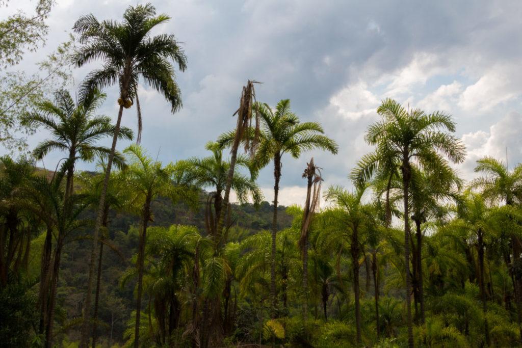 Entre Popayan et Cali - Palmiers