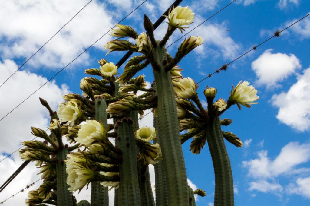 Entre Quito et Ipiales - Cactus en fleurs