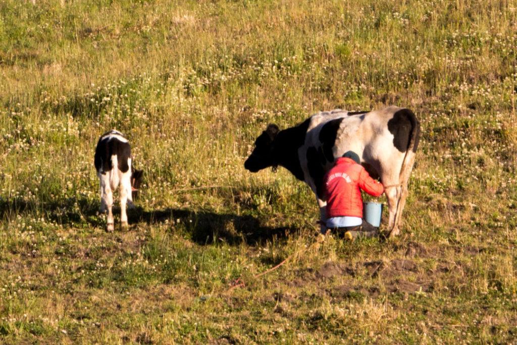Quilotoa Loop - Traite des vaches
