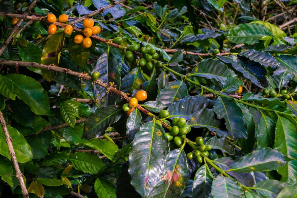 El Eje Cafetero - Grains de café