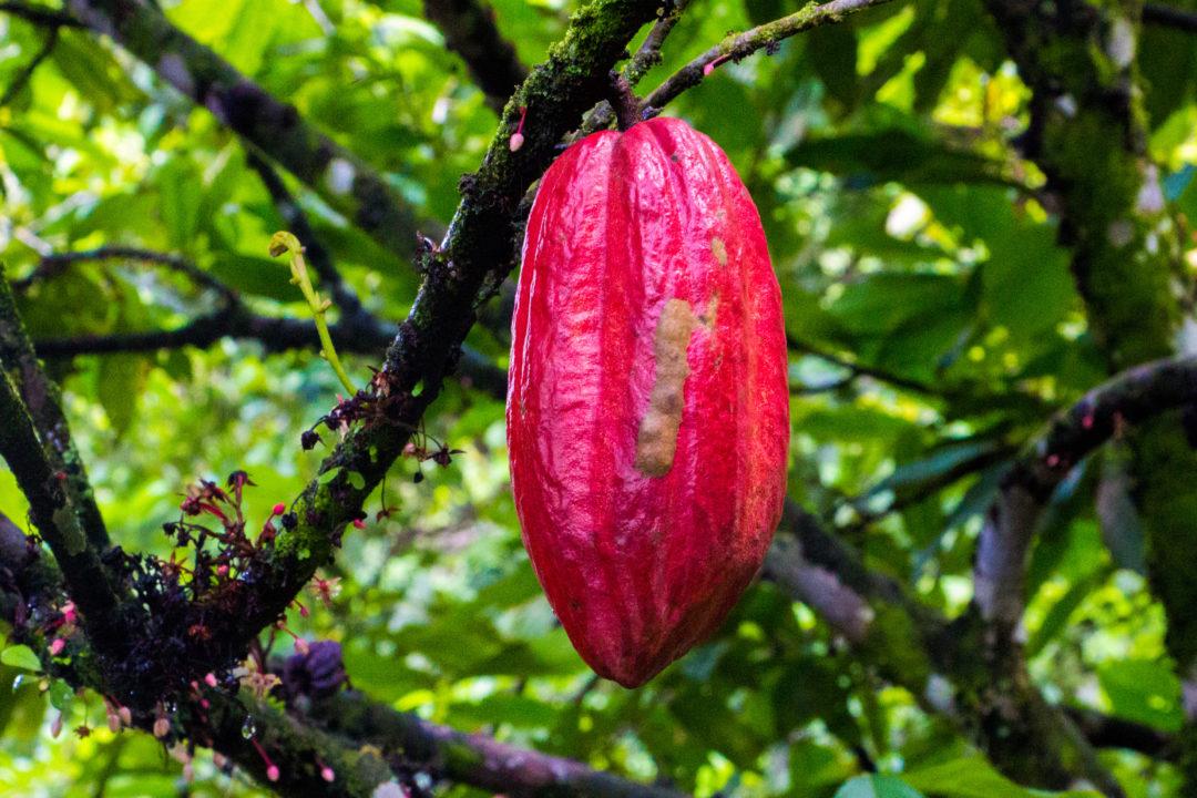 Entre Puerto Boyaca et Otanche - Cabosse de cacao