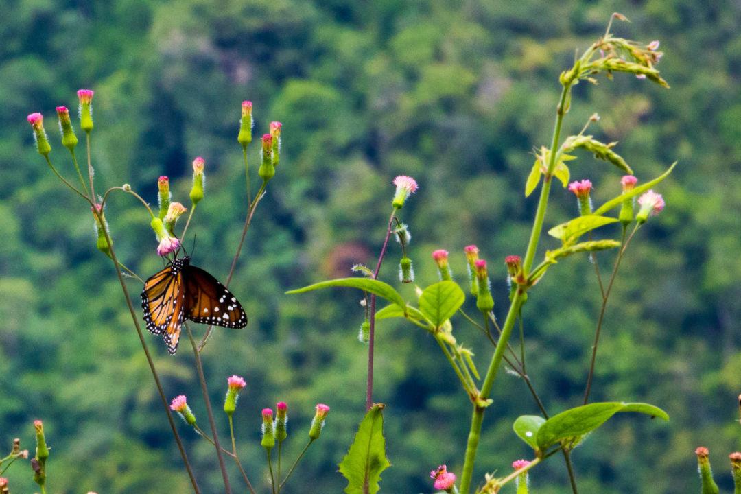 Entre Puerto Boyaca et Otanche - Papillon