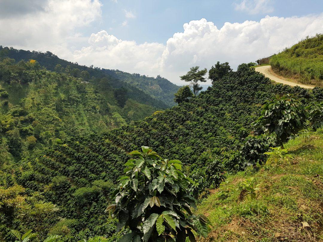 Floridablanca - Paysage de plantations de café