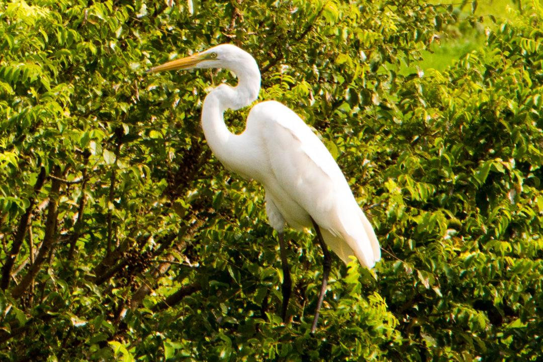 Mompox - Oiseau blanc