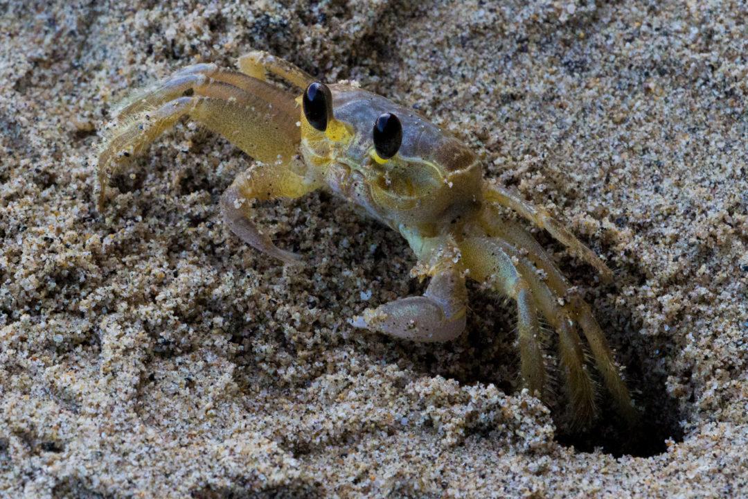 Tayrona - Crabe