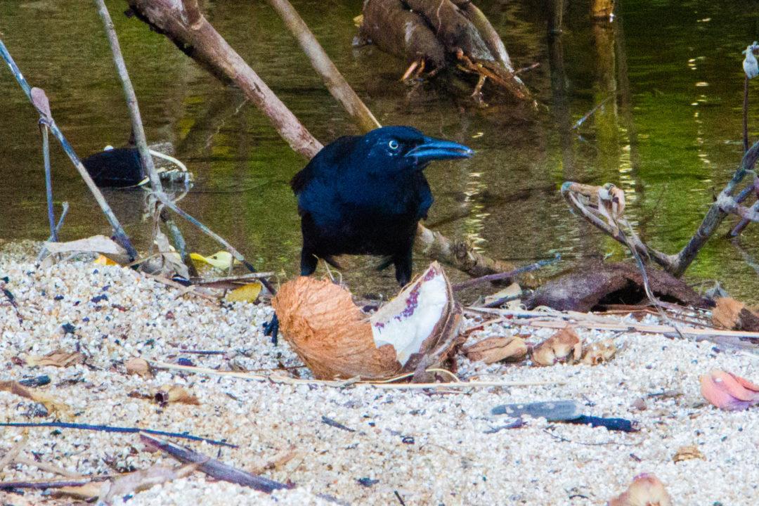 Tayrona - Oiseau mangeur de coco