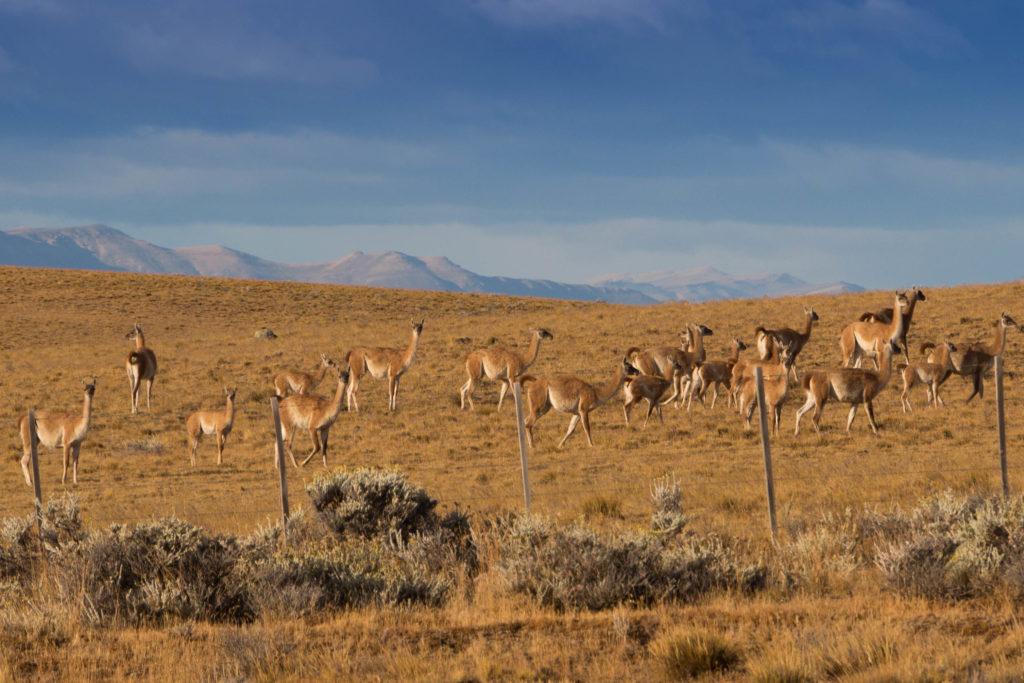 Des guanacos, cousins du lama, en quittant El Calafate, Patagonie argentine