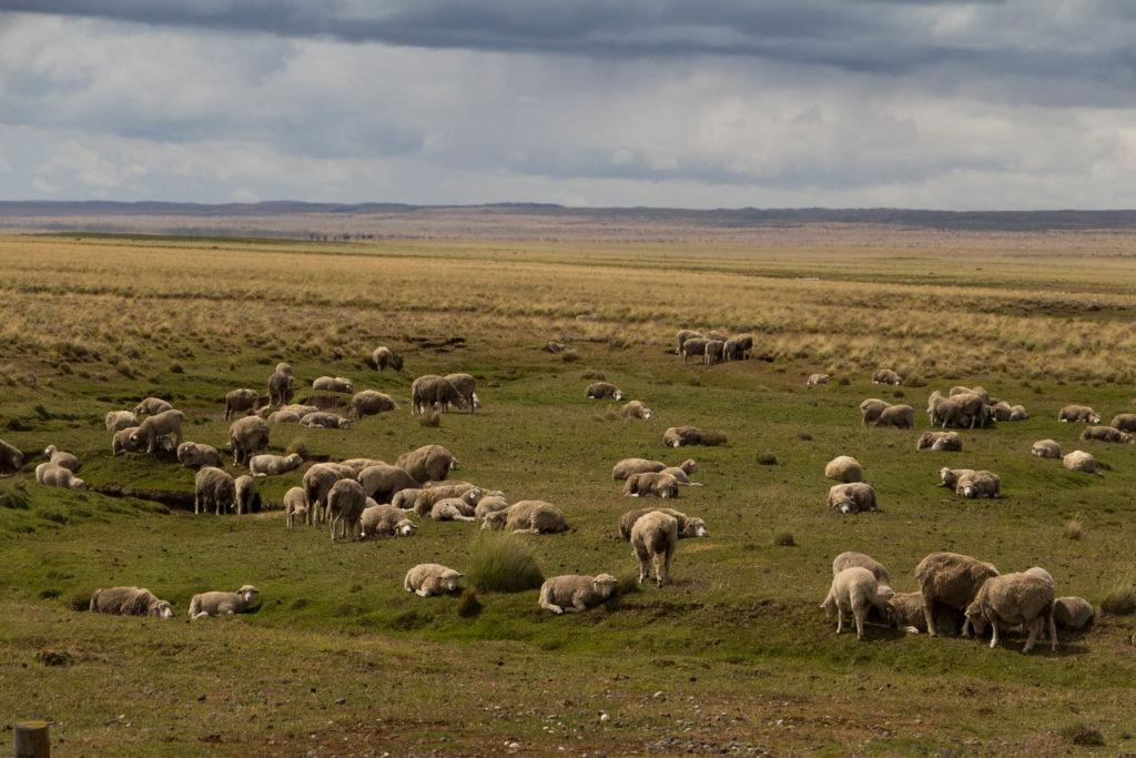 Des moutons, près de Puerto Natales, Chili