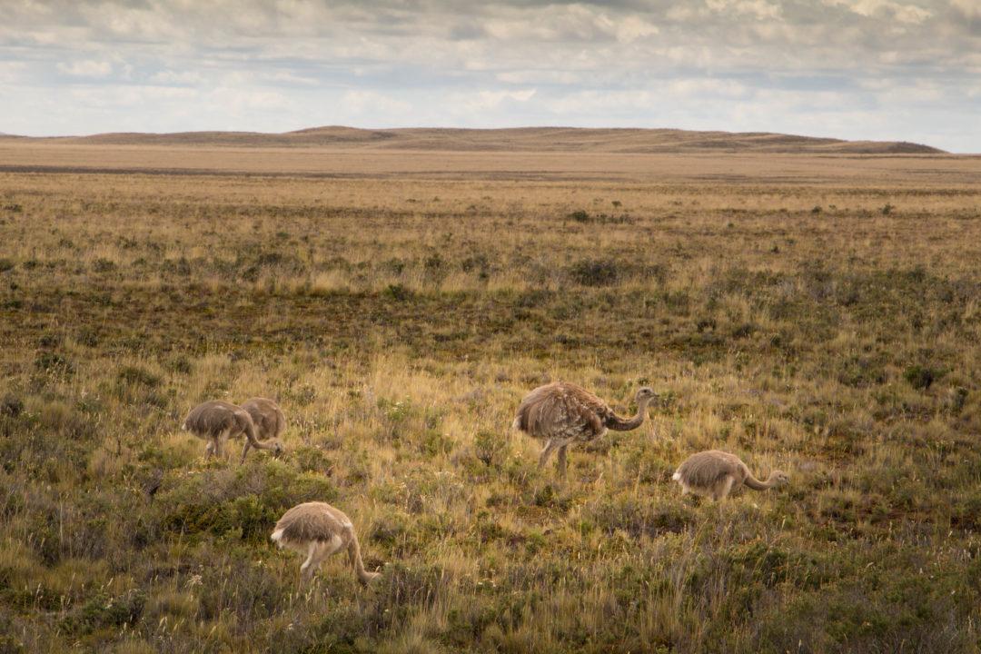 Des nandous, sorte de petites autruches, près de Puerto Natales, en Patagonie chilienne