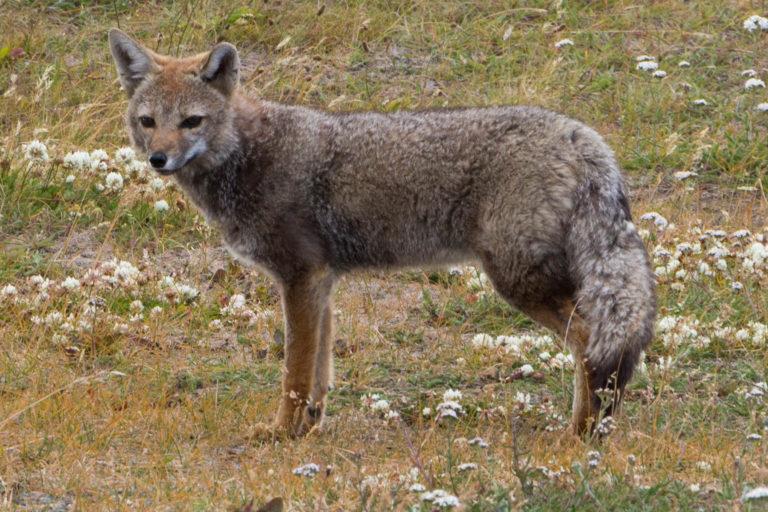 Un renard austral, croisé au bord du chemin