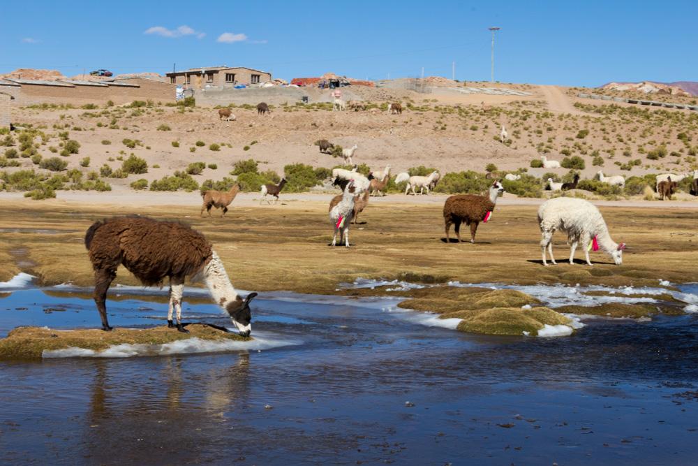 Des lamas qui boivent dans la rivière encore gelée, au village de Villa Mar