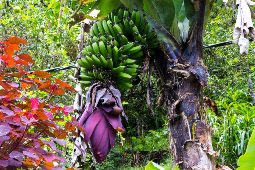 Baños - Bananes