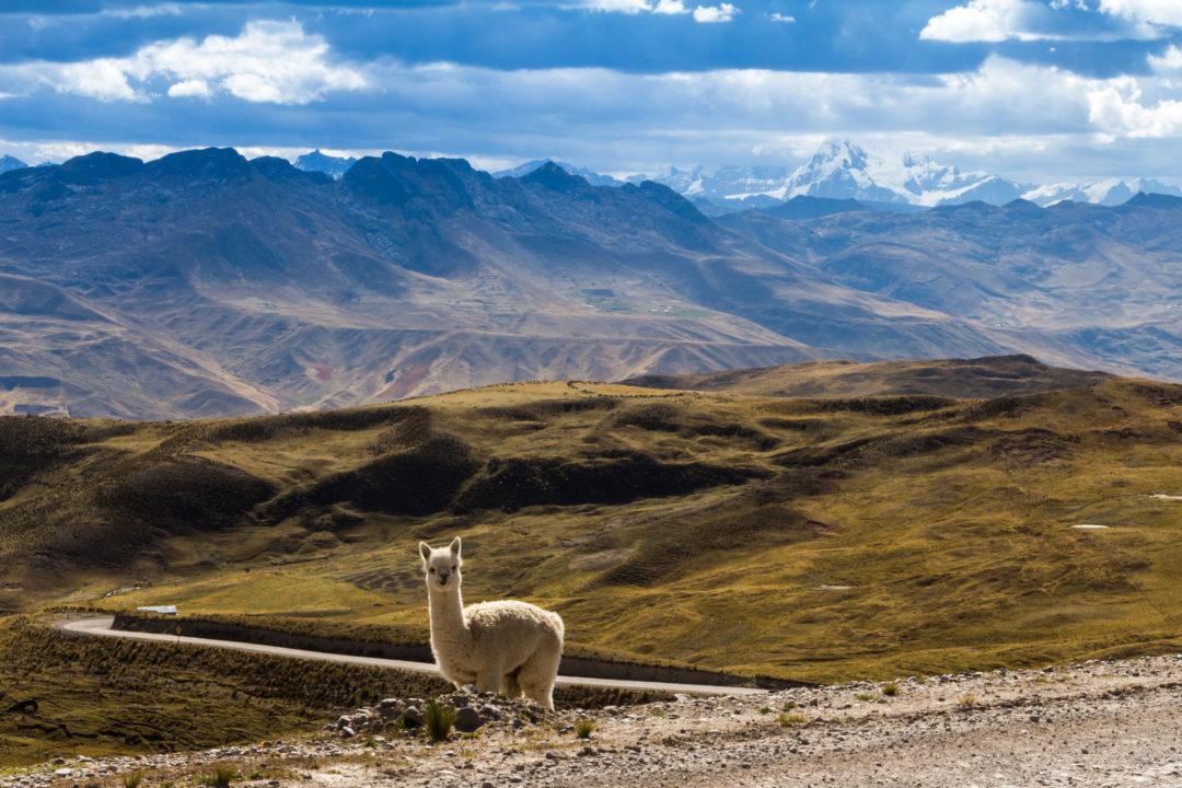 Cordillera Huayhuash - Petit alpaga dans la montagne
