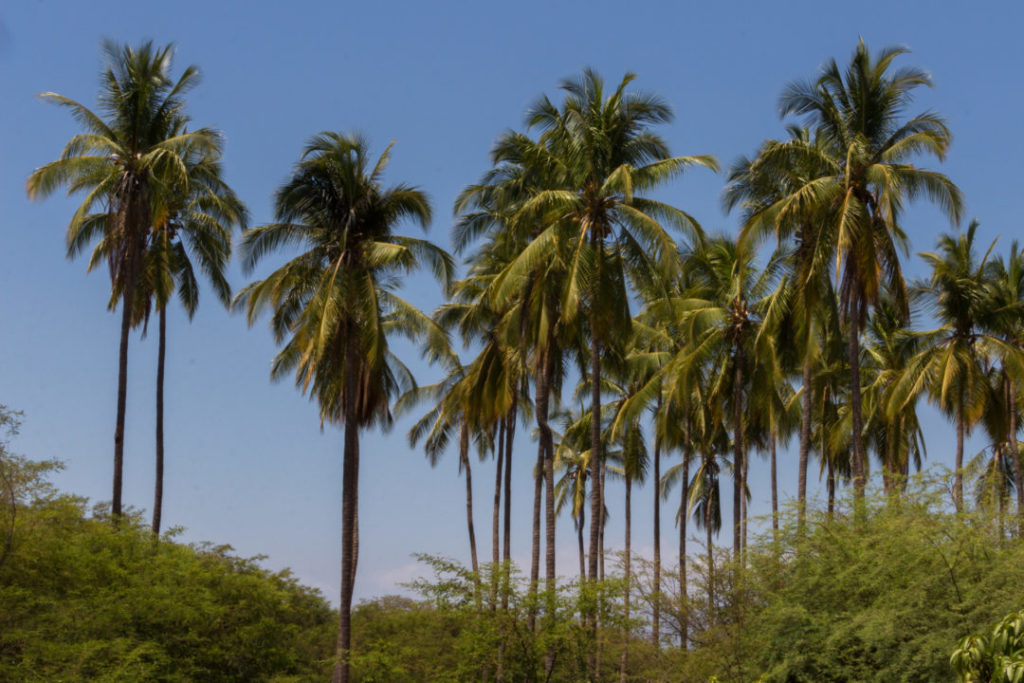 Entre Piura et Macara - Cocotiers
