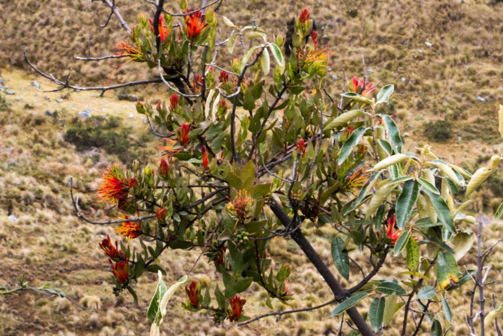 Parc Huascaran - Fleur rouge