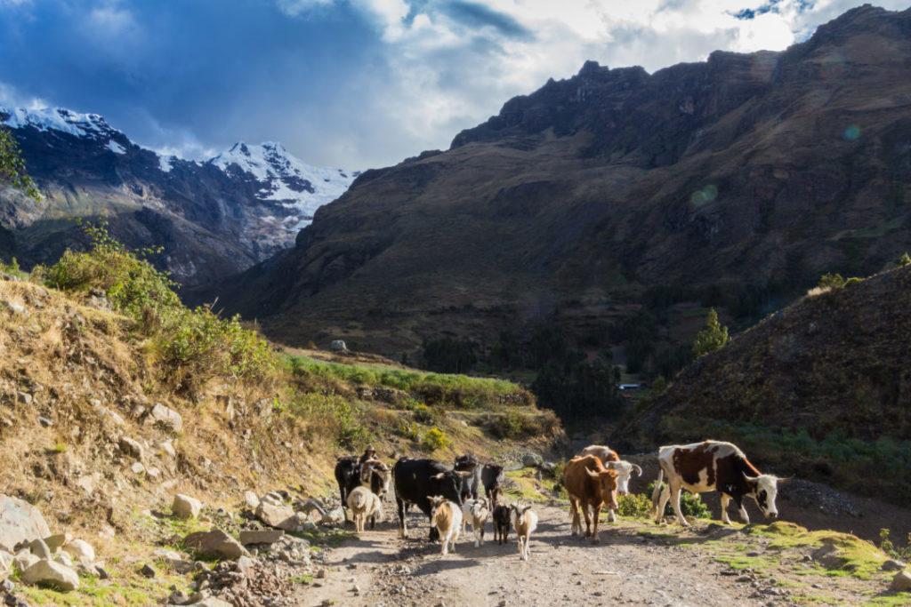 Parc Huascaran - Vaches sur la piste