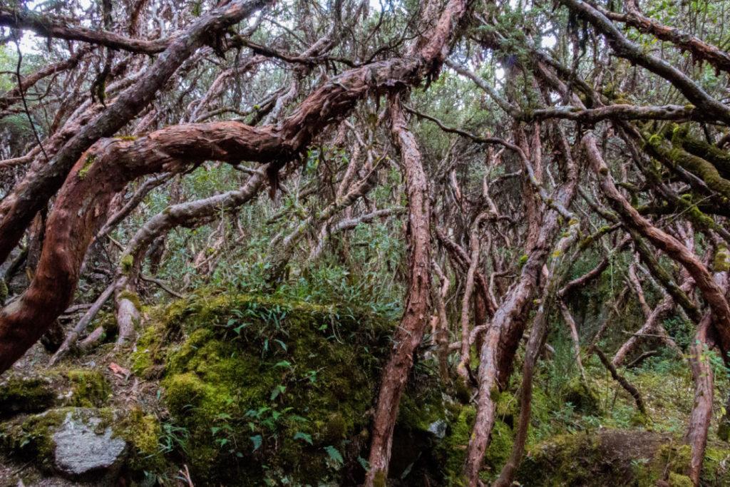 Parc National Las Cajas - Forêt