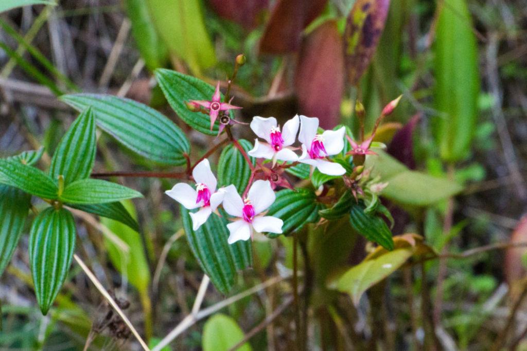 Saraguro - Orchidée sauvage