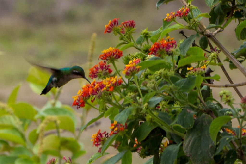 Colombie - Colibri