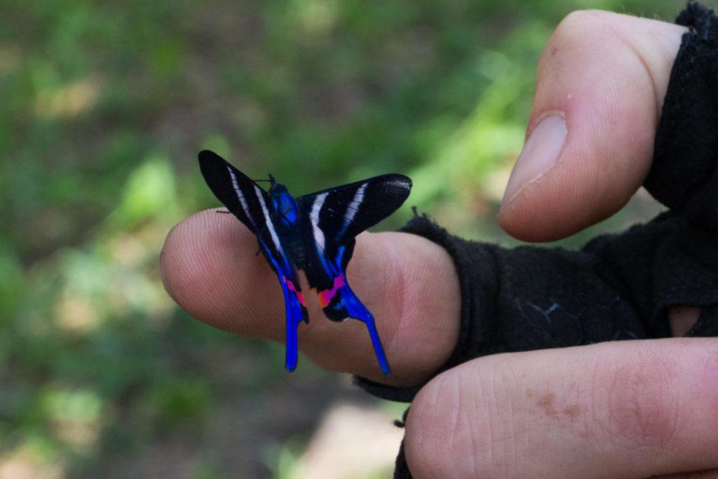 Colombie - Papillon bleu