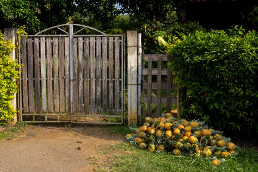 Entre Popayan et Cali - Ananas