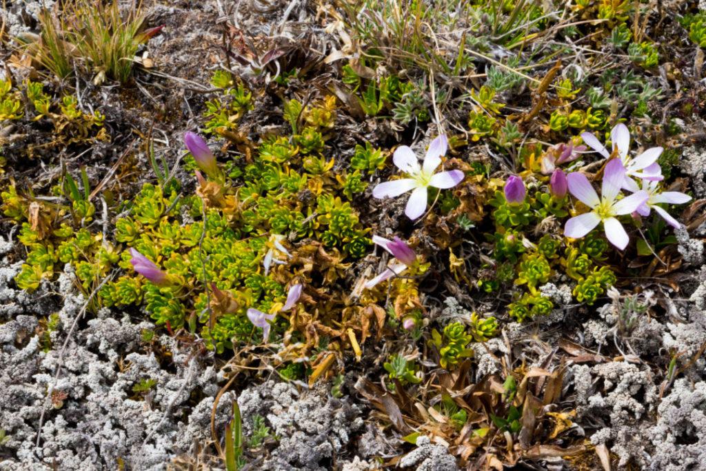 Parc national Cotopaxi - Fleurs
