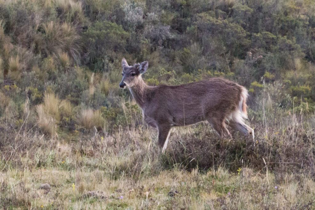 Parc national du Cotopaxi - Biche