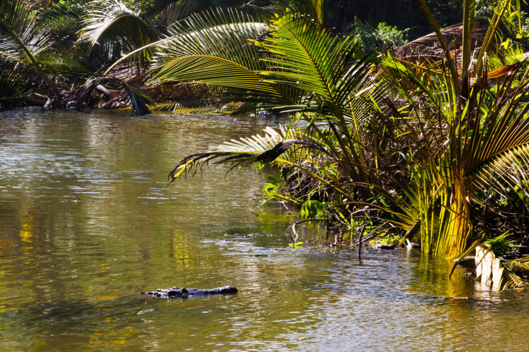 Tayrona - Crocodile