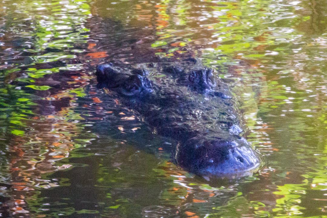 Tayrona - Tête de crocodile